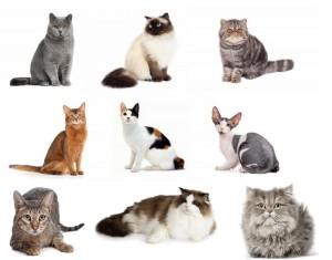 Koty, rasy kotów