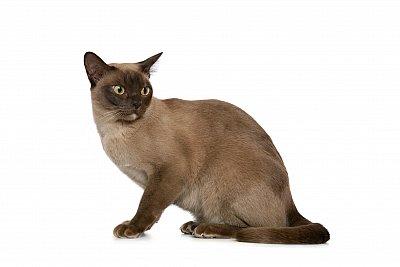 Koty Rasy Kotów Po Angielsku Zdjęcia Obrazki I Wymowa Szlifuj